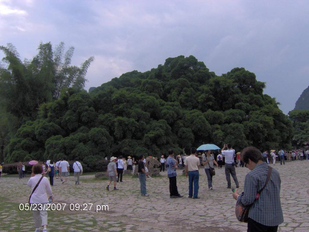 旅行 - 第十一篇 广西 - 阳朔 ~ 一树成林(图)