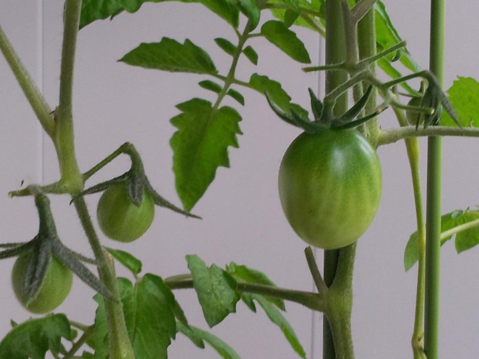 盆栽樱桃番茄